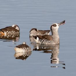 Pink-eared duck at the Western Treatment Plant