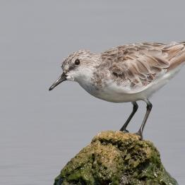 Red-necked stint at the Western Treatment Plant